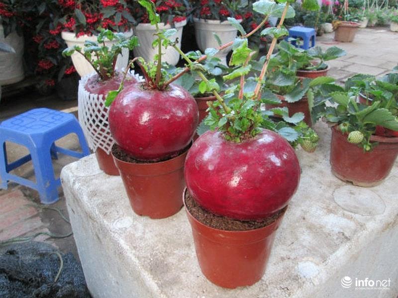 Cây củ cải đỏ tượng trưng cho sự may mắn, no đủ, ấm áp